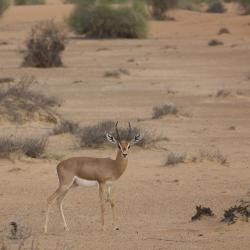 Wildreservat Al Maha, Murquab