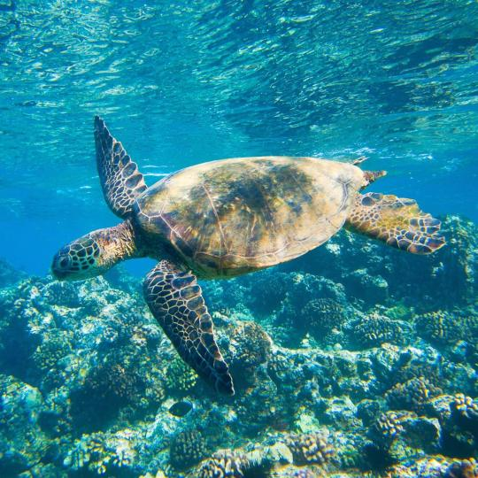 Swim with sea turtles in Honanau Bay
