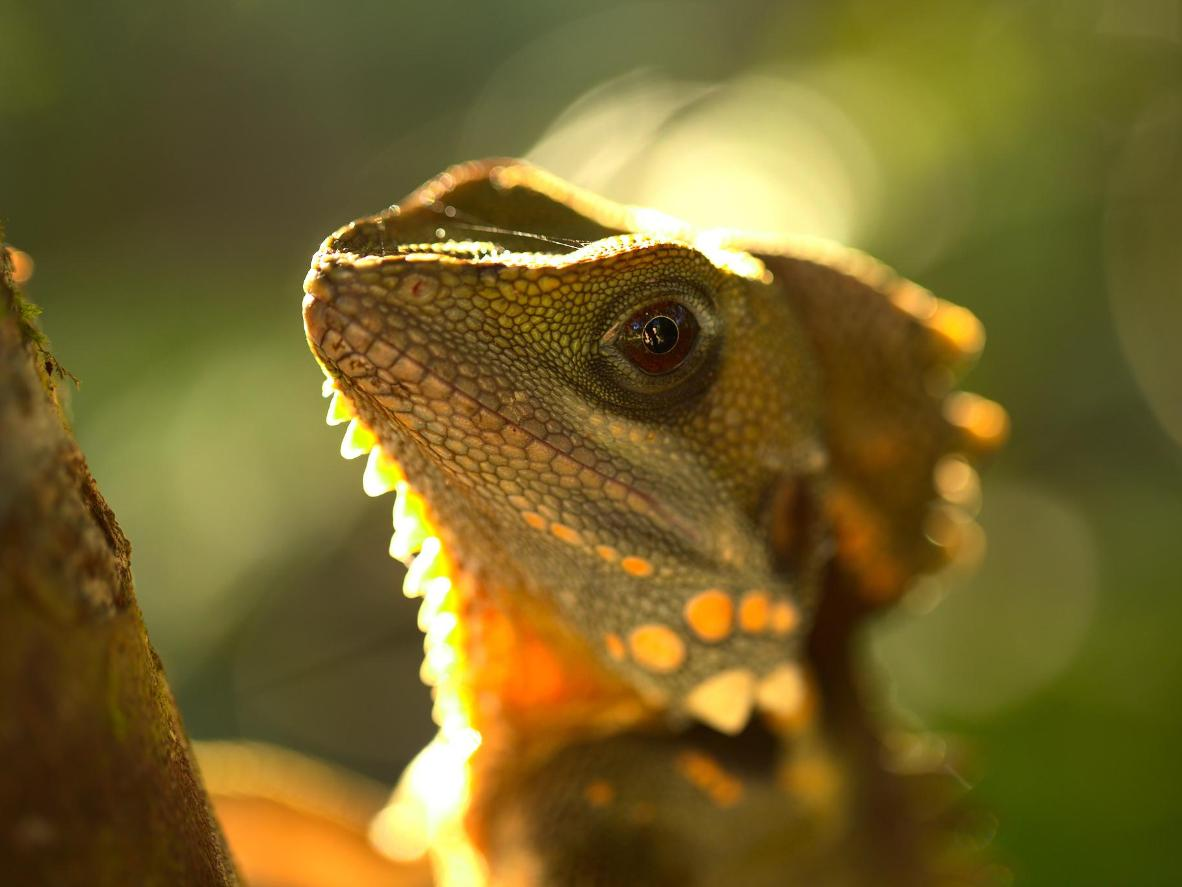 See a Boyd's Forest Dragon at The Daintree National Park