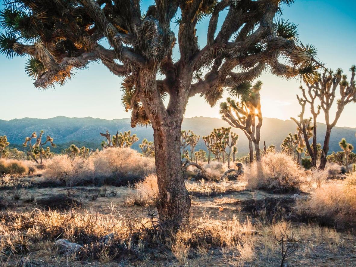 Los bellos y misteriosos árboles del parque nacional de Joshua Tree