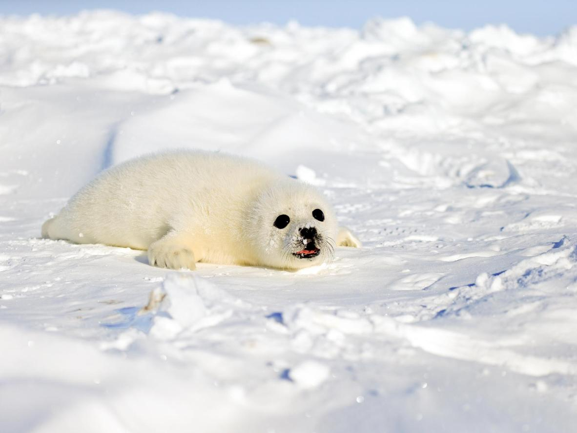 March is the best time to see the island's harp seal pups