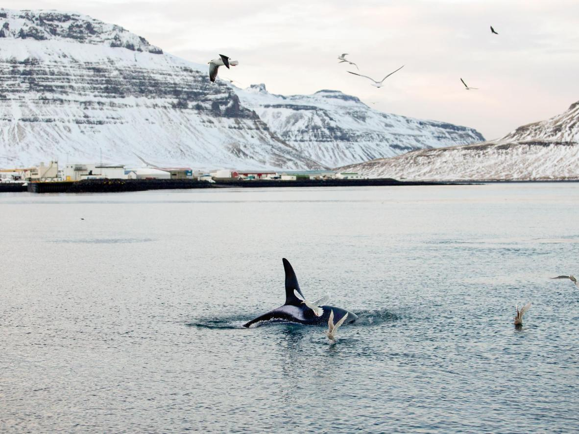 In recent years, orcas have made the Grundarfjörður harbour their winter home