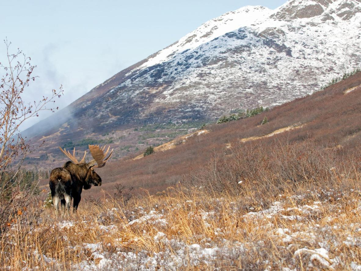 You're more likely to see a moose during the winter than the summer in Anchorage