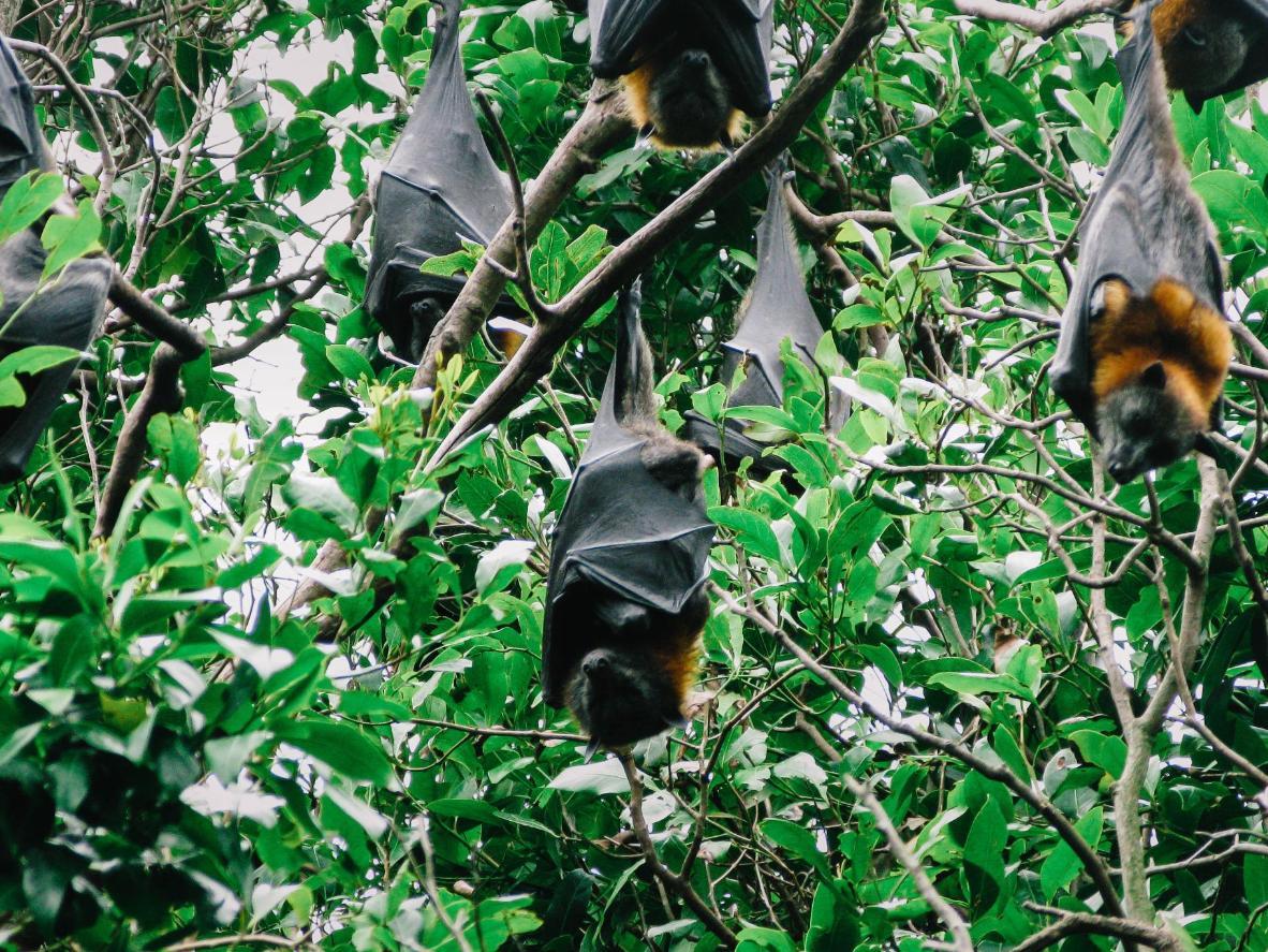 Veendu oma silmaga, miks nahkhiirte suurima liigi esindajaid lendavateks rebasteks kutsutakse
