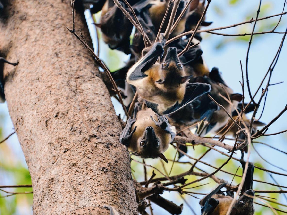 Planirajte putovanje između listopada i prosinca i divite se milijunima blijedožutih voćnih šišmiša