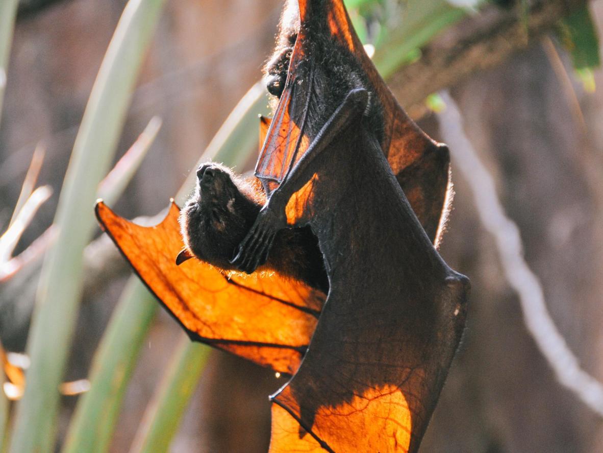 Selle ülikooli nahkhiirte pesitusmajades elab tuhandeid nahkhiiri