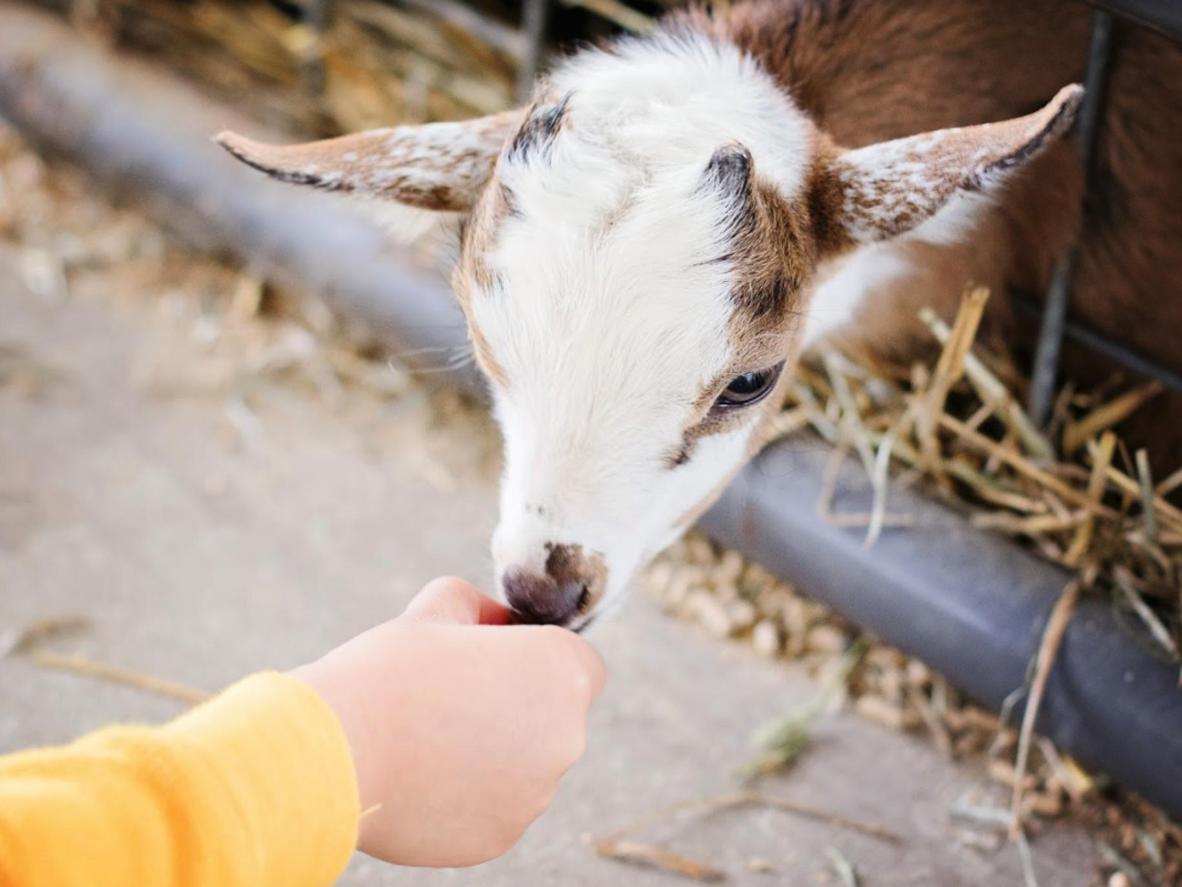 Gosti tijekom posjeta mogu hraniti kozliće