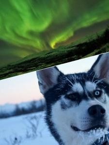 Pet or pets staying with guests at Abisko net Hostel & Huskies