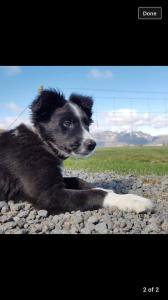 Mascotas con sus dueños en Skálinn between Gullfoss and Geysir - Myrkholt Farm