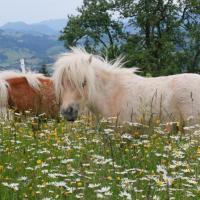 "Bio Bauernhof - Mini Shetland Ponyhof ""Almbauer"""