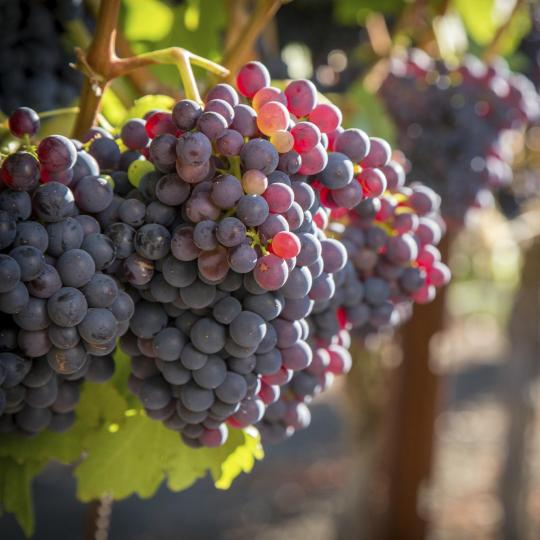 Sample the region's fine wines